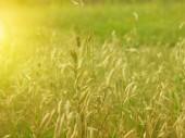 日落时黄色草. — 图库照片