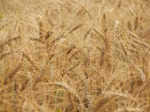 Ears of wheat ripening in the sun. — Stock Photo