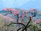 Sapa Cherry Blossoms - Lao Cai - Vietnam — Stock Photo