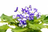 African Violet Purple and White  on white background. — Stock Photo