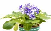African Violet lila und weiß auf weißem Hintergrund. — Stockfoto