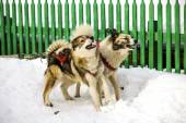 Dogs, sled dogs — 图库照片
