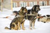 Dogs, sled dogs — Stock Photo