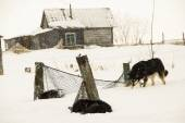 Dogs, sled dogs — Photo