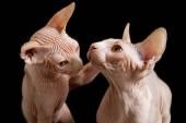 Cat sphinx — Stock Photo