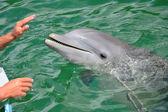 Mains d'une personne de toucher un dauphin — Photo