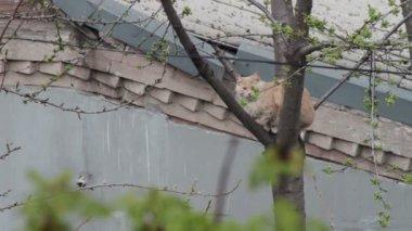Czerwony kot siedzi na drzewie. — Wideo stockowe