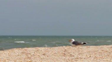 Seděl na pláži na pobřeží moře Racek — Stock video