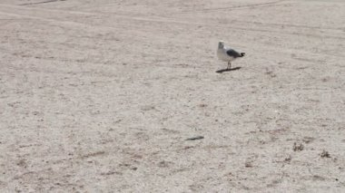 One leg Gull on the beach, is on the beach and looking for food in the background deserted beach. — Stock Video