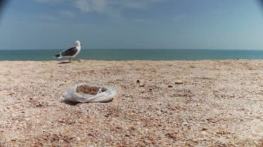 Gulls on the beach flock together for food, shouting at each other and eat bread — Stock Video