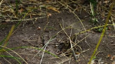 Ants crawling on the anthill. — Stock Video