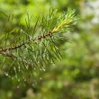 Pine branch close up with raindrops on blurred background — Stock Photo #77869020