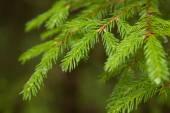 Closeup fir takken met regendruppels, onscherpe achtergrond — Stockfoto