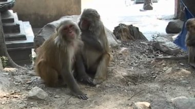 Monkeys grooming each other — Stock Video