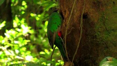 熱帯雨林に巣でケツァール オウム — ストックビデオ