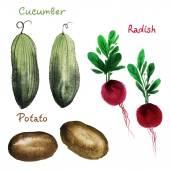 Watercolor  cucumber, radish and potato — Stock Photo