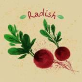 Hand drawn watercolor radish — Stock Vector