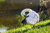 Mute swan preening on the lakeshore — Stock Photo