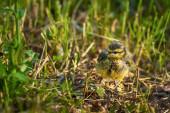 Ouzel chick — Stock Photo