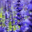Lavender is Many beautiful flowers in the garden — Stock Photo #65986147