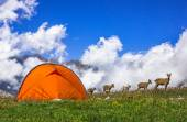 Mountain goats beside the tent — Stock Photo