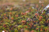 Ledum, Labrador tea, thickets on a bog — Stock Photo