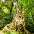 Big tree in tropical forest — Stock Photo #70170443