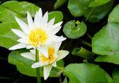 Bílý květ Lotosový květ — Stock fotografie