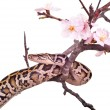 Butter ball royal python moorish viper boa snake on a branch with flowers isolated on white — Stock Photo #69548941