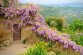 Mantle purple wisteria in bloom along the medieval walls of the perched village of Civita, overlooking the background of the valley below — Stock Photo