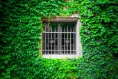 Insulation by ivy clinging to the wall and around a windows — Stock Photo