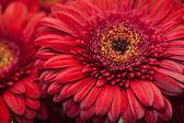 レッド ガーベラの花マクロ — ストック写真