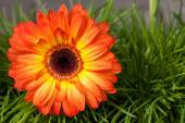 Close-up of orange gerbera flower on grass background — Foto de Stock