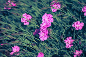 Small pink carnations (Dianthus) as a background — Photo