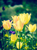 Yellow tulips in a garden — Stock Photo