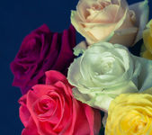 Bukett av färgglada rosor med blå bakgrund på nära håll — Stockfoto