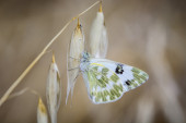 Small butterfly on innkeeper with great detail of eyes and wings — Stock Photo