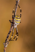 Spider on a branch waiting to hunt, vertical format — Stock Photo