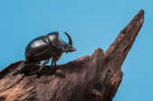 Rhinoceros beetle on tree trunk and blue background — Stock Photo