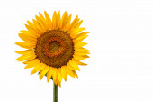 Sunflower isolated with white background and space for text or advertising — Stock Photo