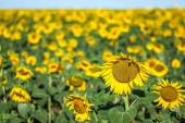 Field of sunflowers in summer, vertical format, high horizon — Stock Photo