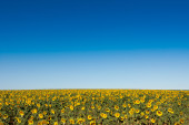 Field of sunflowers in summer, vertical format, low horizon — Stock Photo