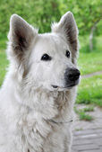 Big white sheep dog — Stock Photo