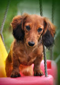 Funny cute long haired Dachshund rabbit — Stock Photo