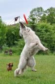 Saut de chien — Photo