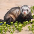 Ferrets walk on the sand. The ferret is a domesticated mammal of the type Mustela putorius furo. — Stock Photo #66048431