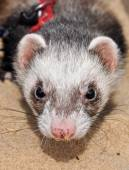 Ferrets walk on the sand. The ferret is a domesticated mammal of the type Mustela putorius furo. — Stock Photo
