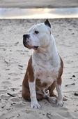 Perro american staffordshire terrier — Foto de Stock