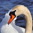Постер, плакат: White Swan portrait