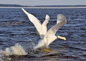 Swan flies on the water — Stock Photo